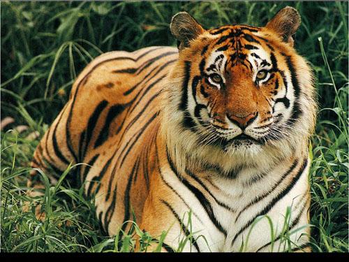 tigrebuena.jpg